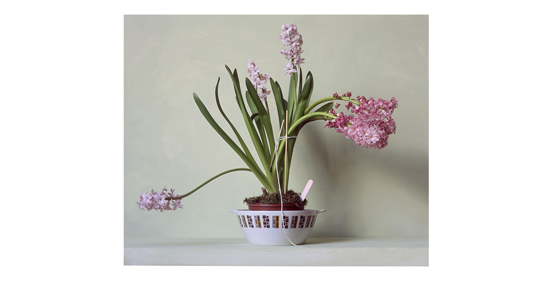 Hyacinth in Chains